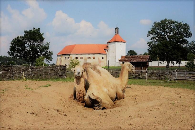 Hrvatska Sahara: deve i ostala životinjska ekipa ljetne dane provode u opuštanju i uživanju na suncu – Grad Đurđevac